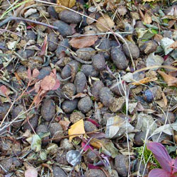 winter moose droppings