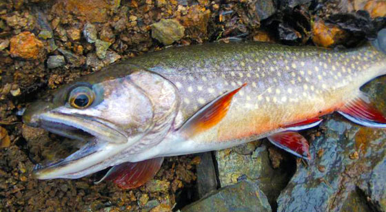 Southeast Alaska Brook Trout