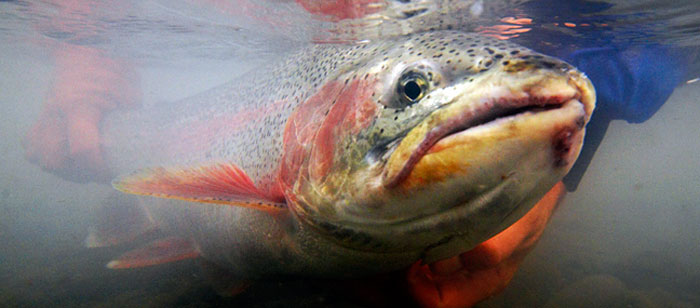 Large rainbow trout being released on Alaska's Kenai River