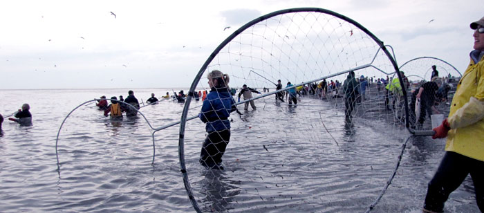 dipnetting sockeye salmon on Alaska's Kenai River