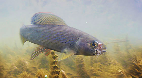 Freshwater fishing techniques alaska fishing alaska for Alaska freshwater fish