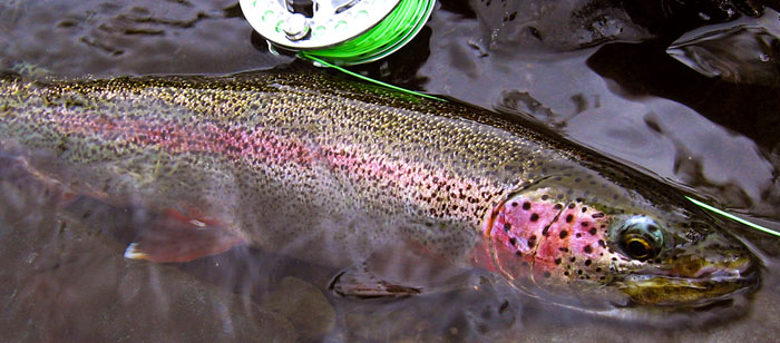 Alaska rainbow trout taken with fly tackle (Cory Kittle image)