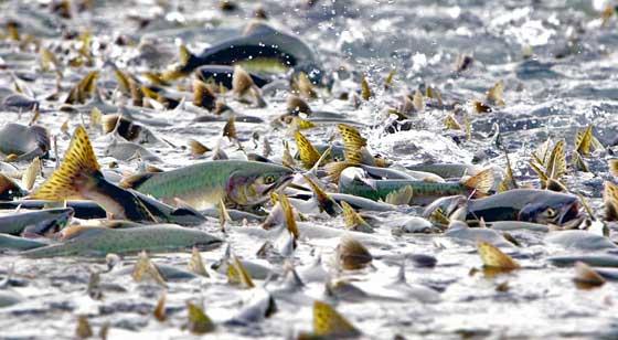 Pink salmon humpy salmon fishing in alaska alaska for Alaska freshwater fish