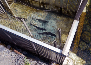 Salmon weir counting box on Alaska's Russian River