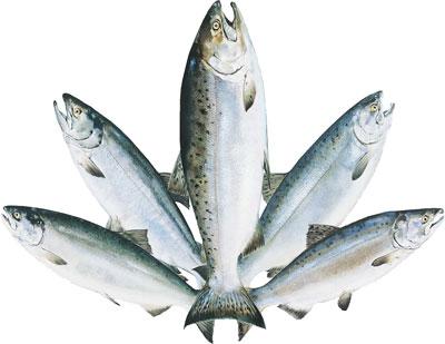 Fishing in alaska alaska fishing alaska outdoors supersite for Alaska fish species