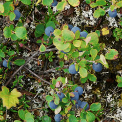 Alpine blueberries