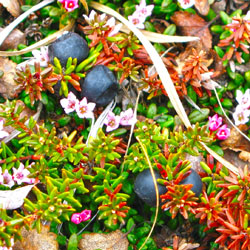 Alpine crowberries