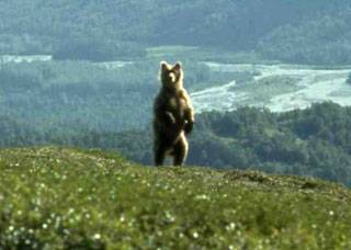 Brown bear approaching kill site