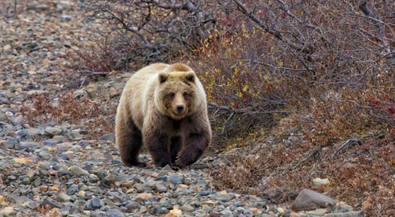 Brown / Grizzly Bear | Hunting in Alaska - Alaska Outdoors
