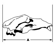Brown bear skull measurement 1