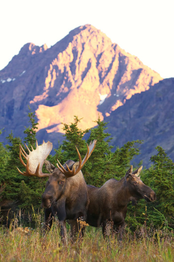 Mature bull and cow moose in rut in Alaska. (Tracey Harmon photo)