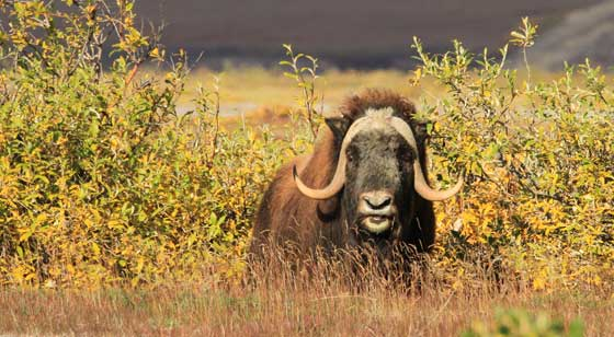 Muskox adopts a defensive posture in Alaska