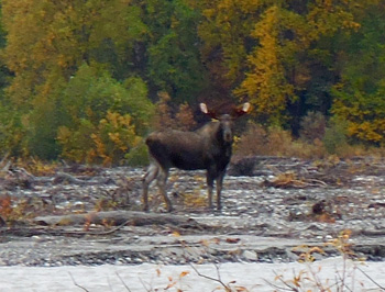 young bull moose seen on an Alaska float hunting trip