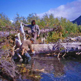 Cutting out heavy timber on Alaska's Aniak River