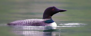 loon on an Alaska lake